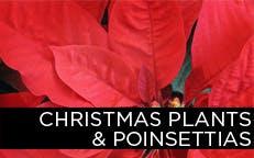 Christmas Plants & Poinsettias