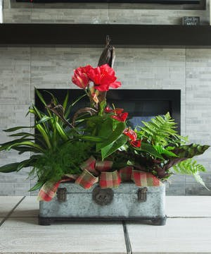 This stunning garden is artfully designed in a unique trunk inspired tin and featuring a stunning amaryllis, a mix of unique plants and a plaid bow.