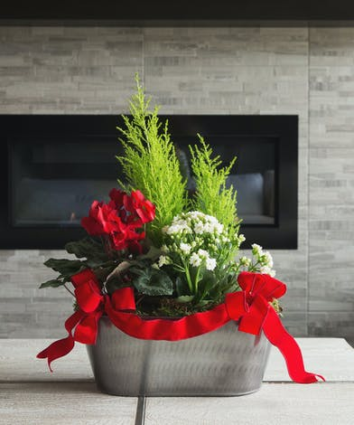 Send a garden wishing love and joy!  A pair of cypress trees, a red cyclamen and a white kalanchoe artfully planted in an oblong burnished tin container with red velvet bows.
