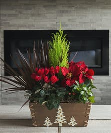 A mini cypress tree, winterberry plant and assorted foliage planted in a natural wooden box decorated with white trees.  A red cyclamen and red poinsettia add seasonal color.