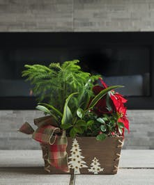 A red poinsettia, mini Norfolk pine tree and foliage plants, this garden in a natural wood container with white trees and plaid bow evokes warm thoughts of friendship.