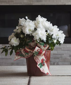 A stunning azalea plant in a burgundy tin accented with a Merry Christmas bow will brighten anyone's holiday