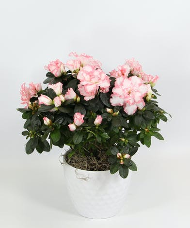 Covered in lush blossoms, this azalea is in a decorative container and available in shades of pink or red.