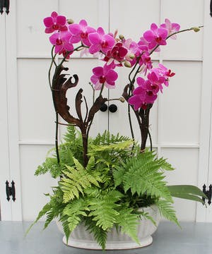 Two spectacular phalaenopsis orchids with ferns in a ribbed ceramic pot with accents of twisted natural stakes.  Long-lasting.  Blossom color will vary.