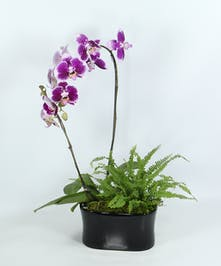 Pure elegance is what this phalaenopsis delivers.  The amazing plant is easy to care for and can bloom for months.