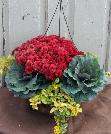 Nothing says fall more than a colorful mum plant.  This hanging basket will brighten any entry way.  Hardy to 25 degrees.