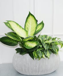 A duo of two 6-inch foliage plants presented in this contemporary ribbed container.