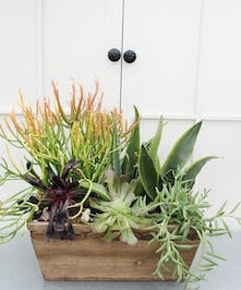This unique twist on the gift box features a mixture of exotic succulents planted in a wooden rectangular box. Succulent types will vary with availability.
