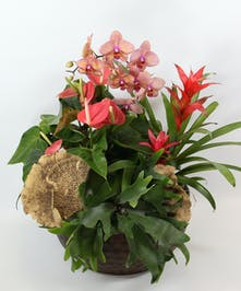 Escape to the tropics with this stunning presentation.  Orchids, anthurium, bromeliads and a staghorn fern offer beauty and texture in a garden.