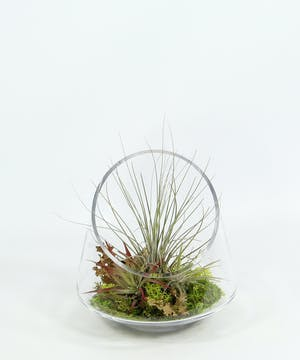 Wispy and zen inspired.  Tillandsia, also known as air plants, require very little care.  They do not need soil to survive.