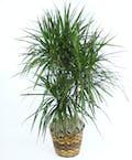 Gainan's Plant Dracaena Marginata