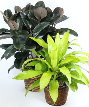 Easy care.  They require bright light but not direct sun.  Water thoroughly and let the soil dry between waterings.  Mist often or wipe the leaves with a damp cloth.