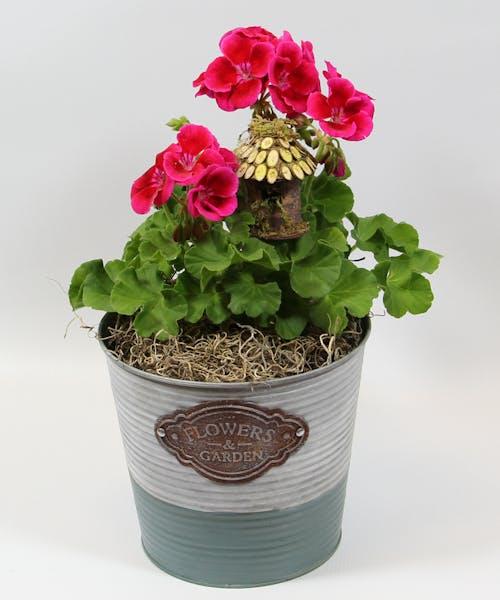 4-inch Geranium in a Tin