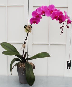 A graceful phalaenopsis orchid with an attached tillandsia in a decorative orchid pot with touches of moss.  Blossom colors will vary.