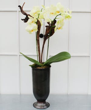 A spectacular double-stemmed phalaenopsis orchid in a tall ceramic pot decorated with moss and natural stakes.  Long-lasting.  Blossom colors will vary.