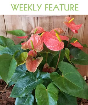 Anthurium - Flamingo Lily, this plant may look exotic but it is fairly easy to grow indoors.