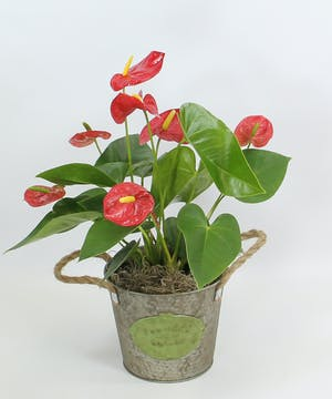 Flamingo lily, Anthurium, prefers medium light, such as a slightly shaded window and plenty of moisture.