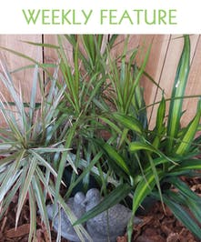 Dracaena is an undemanding plant that tolerates low light and low humidity and it will forgive and occasional missed watering.