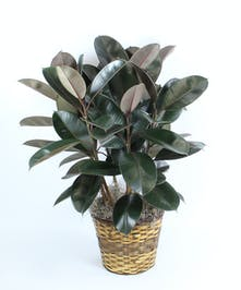 Rubber plants, Ficus elastica, relieve allergies by drawing dust and allergens to their high humidity leaves where they stick instead of lingering in the air.  Easy care.